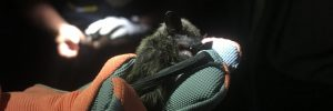 bat surveys help